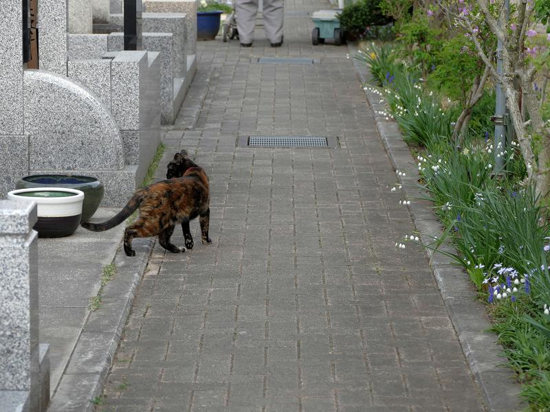 墓苑参道サビ柄猫2