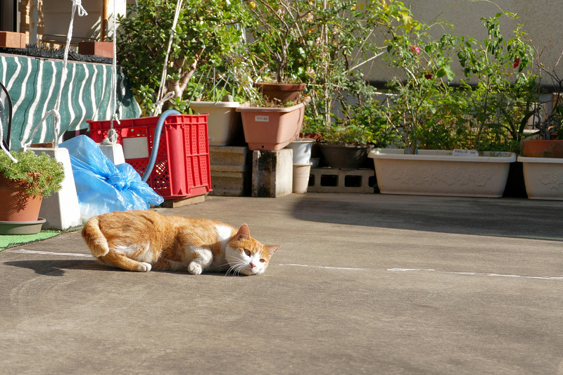 民家駐車場の茶白猫2