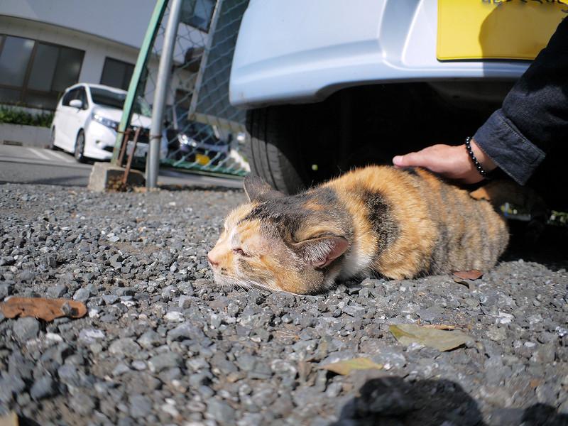 体を触られる三毛猫3