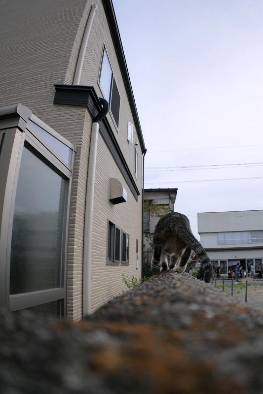 ブロック塀を動くキジ白仔猫3