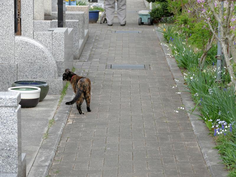 墓苑参道サビ柄猫3