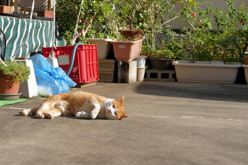 民家駐車場の茶白猫3