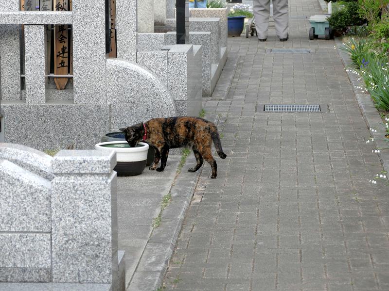 墓苑参道サビ柄猫4