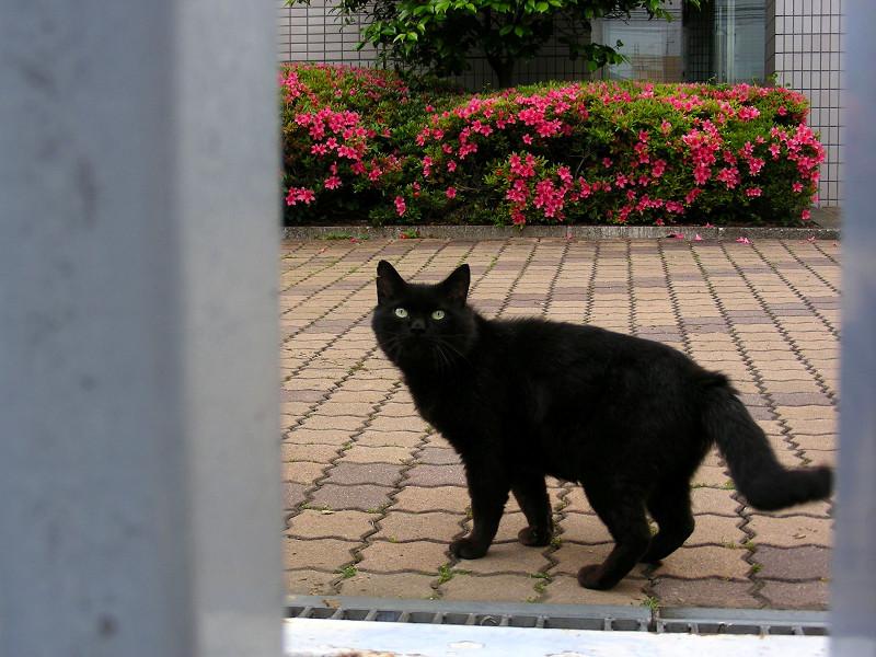 敷地内の黒猫1