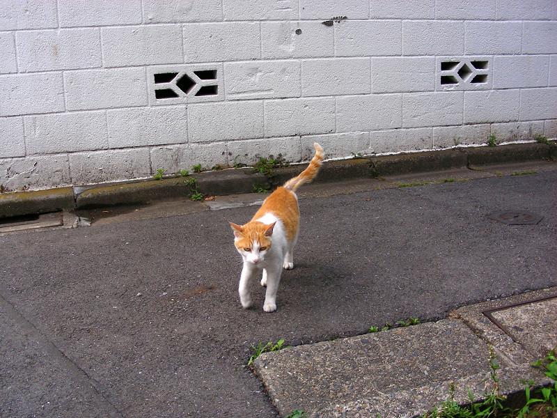 尻尾を立てている茶白猫1