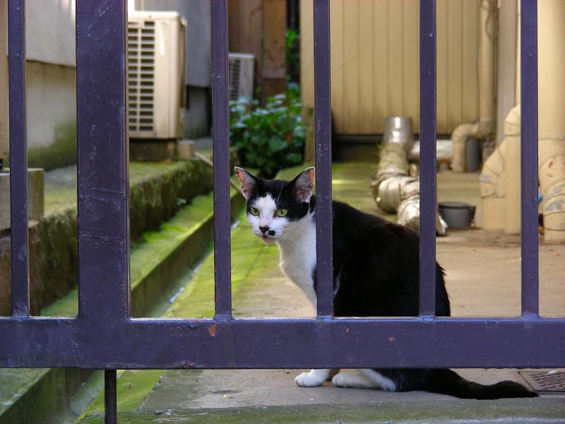 柵越しの黒白猫1