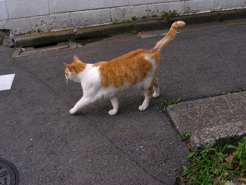 尻尾を立てている茶白猫2