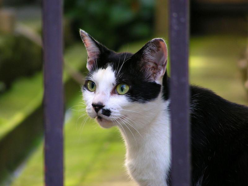 柵越しの黒白猫2