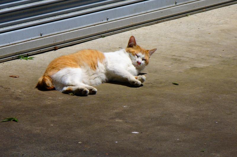 シャッター前で寝転がってる茶白猫2