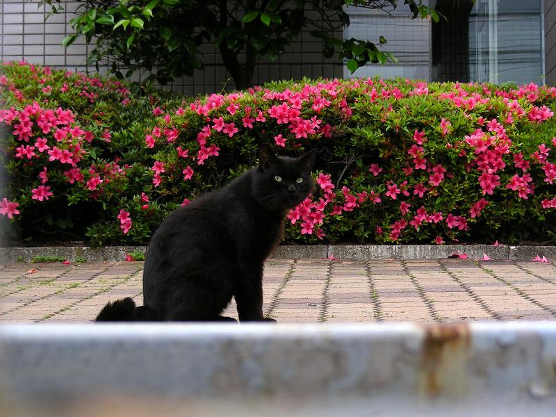 敷地内の黒猫3