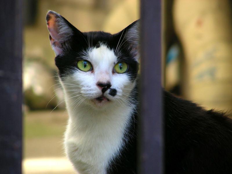 柵越しの黒白猫3