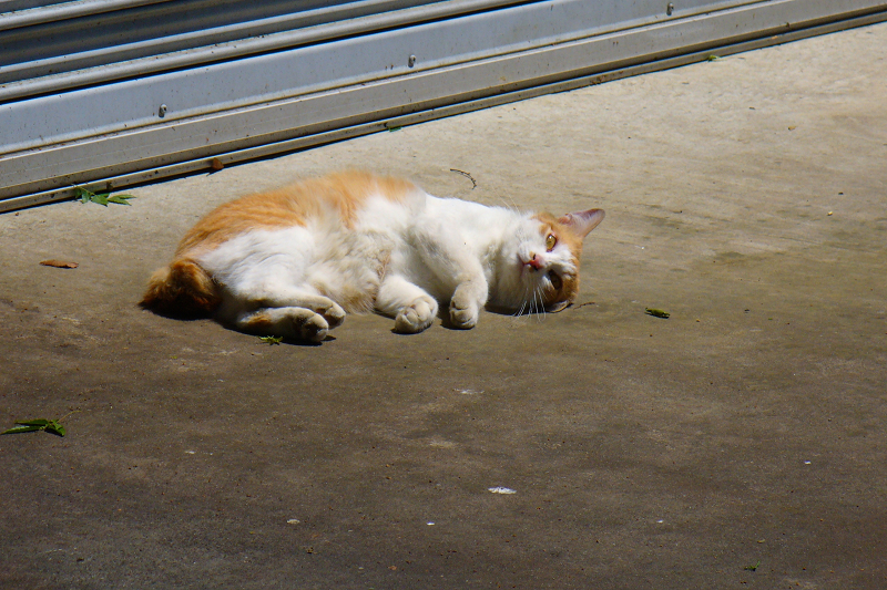 シャッター前で寝転がってる茶白猫3