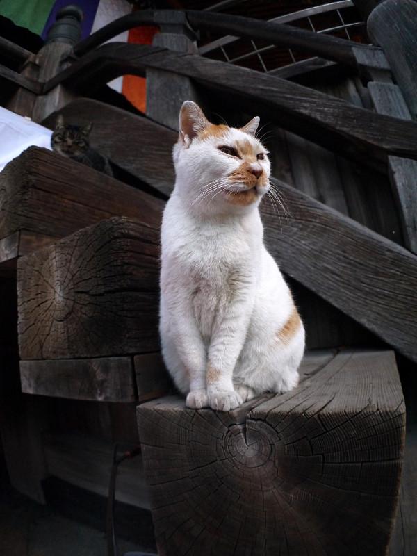 階段に座る白茶猫