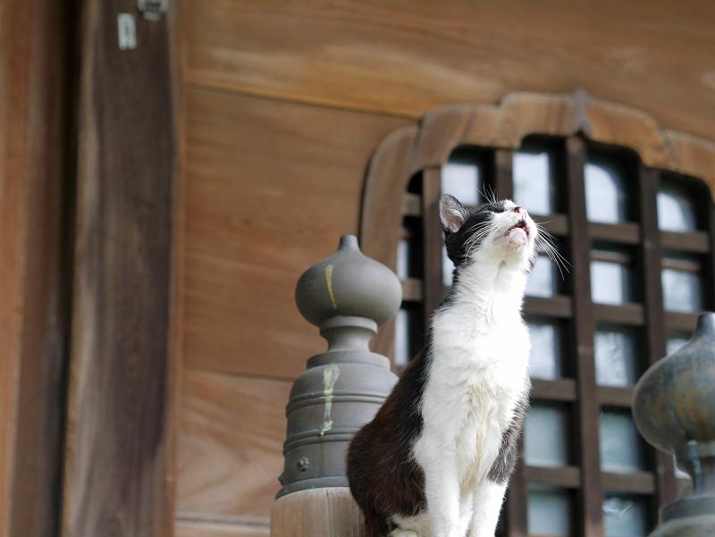 お堂階段手すりに立っている黒白猫1