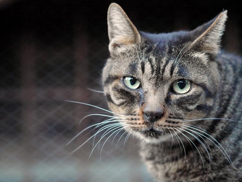 カメラ目線と欠伸のキジトラ猫1