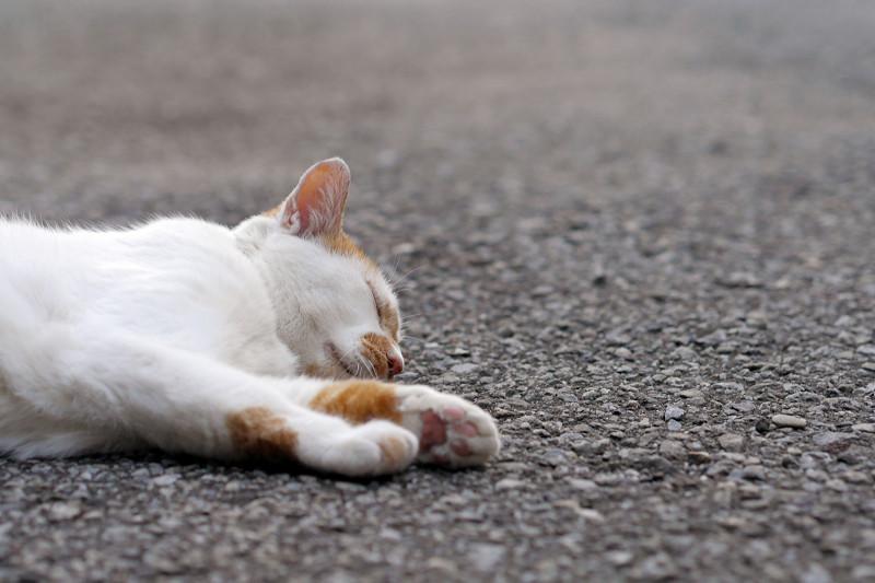 境内で寝ている白茶猫1