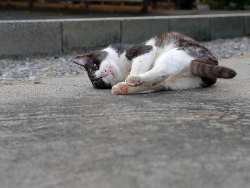 ゴロンゴロンしている薄黒白猫1