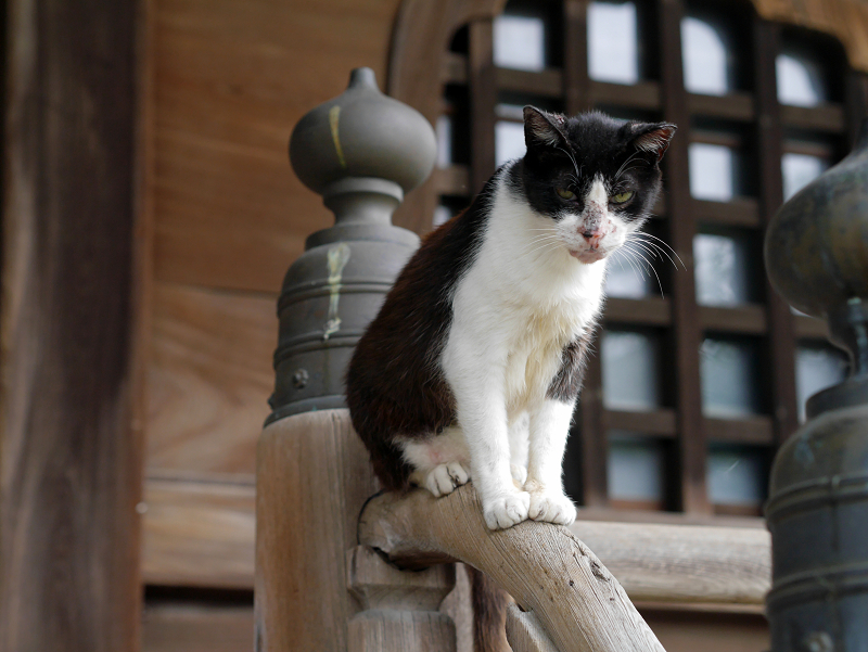 お堂階段手すりに立っている黒白猫2