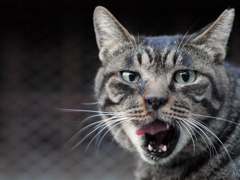 カメラ目線と欠伸のキジトラ猫2