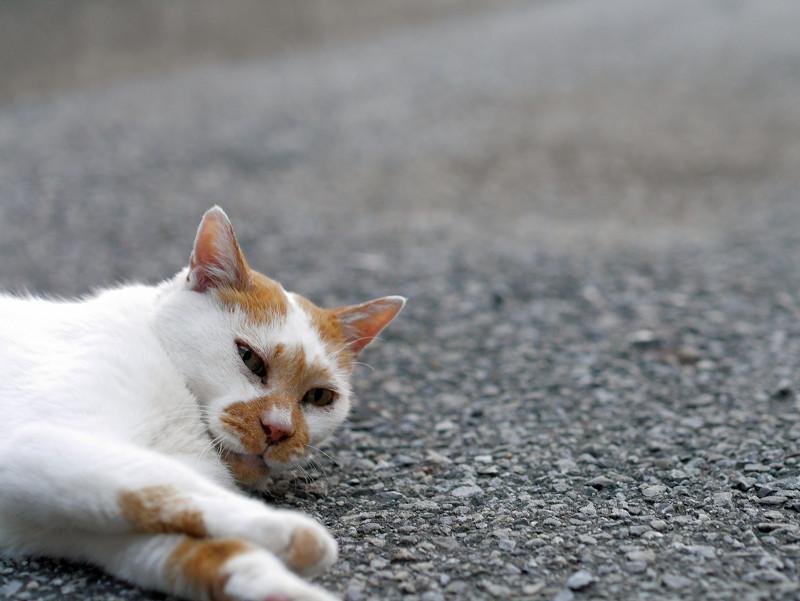 境内で寝ている白茶猫2