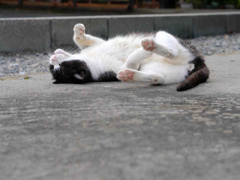 ゴロンゴロンしている薄黒白猫2