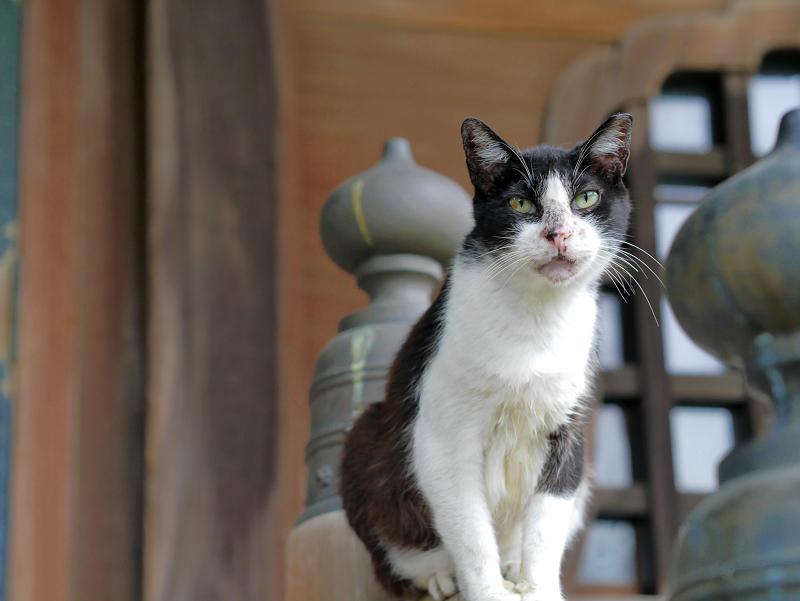 お堂階段手すりに立っている黒白猫3