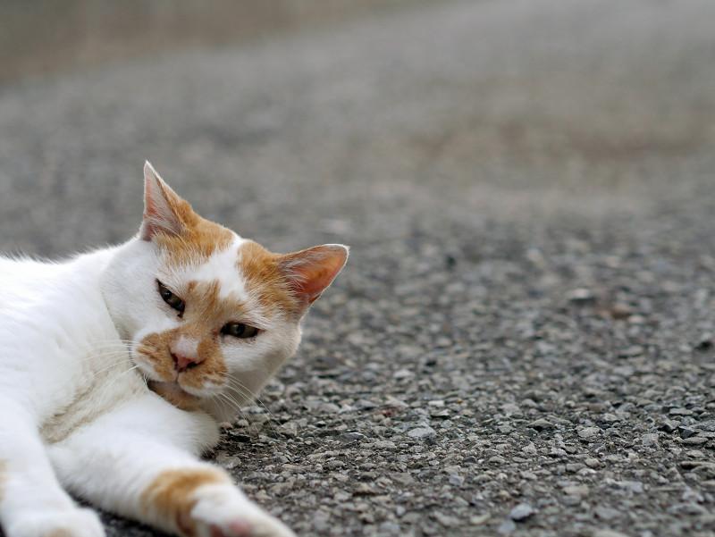 境内で寝ている白茶猫3