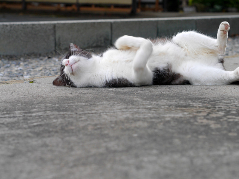 ゴロンゴロンしている薄黒白猫3