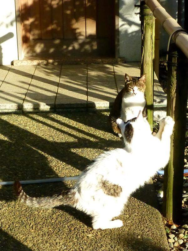 爪を研ぐ白キジ猫とキジ白猫3