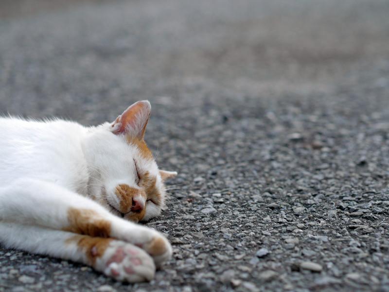境内で寝ている白茶猫4