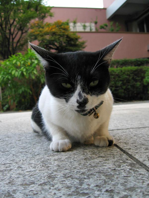 座りながら睨んでる白黒猫1