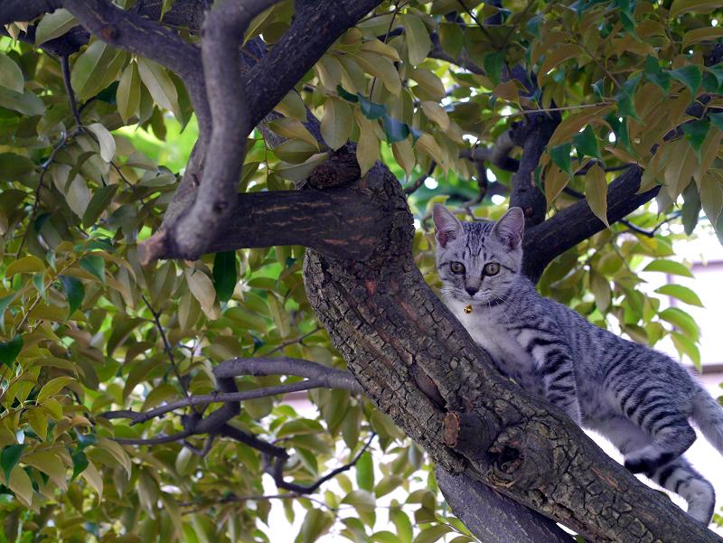 クスノキで悠々と動くサバトラ仔猫1