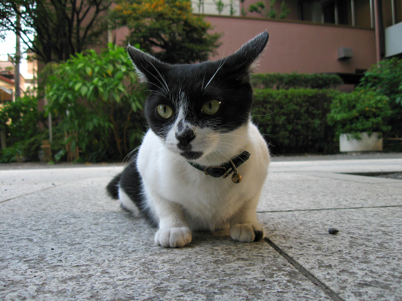座りながら睨んでる白黒猫2