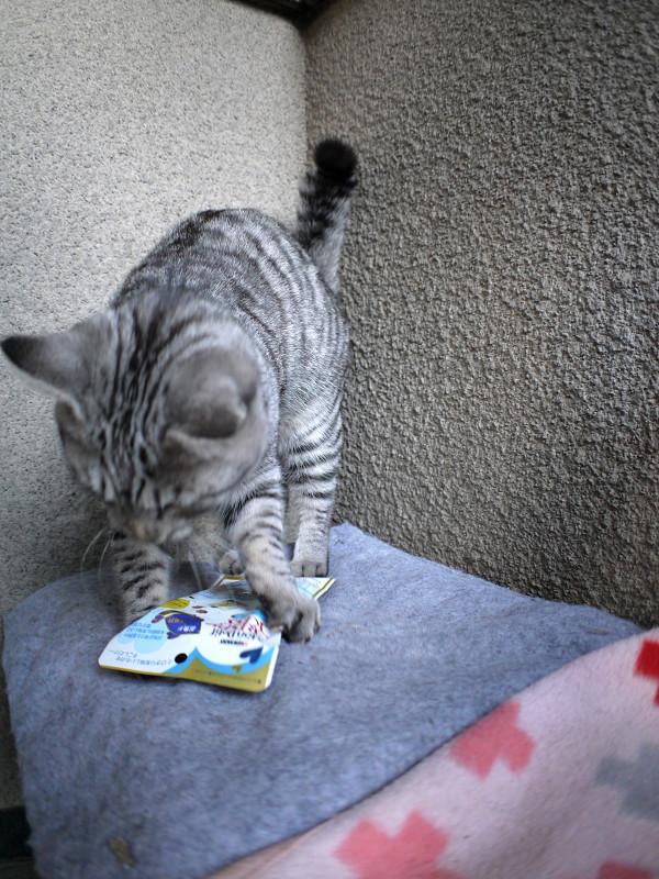 キャットフードで遊びまくるサバトラ猫2