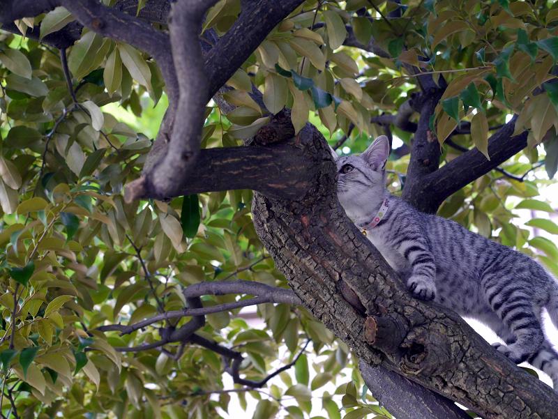 クスノキで悠々と動くサバトラ仔猫2