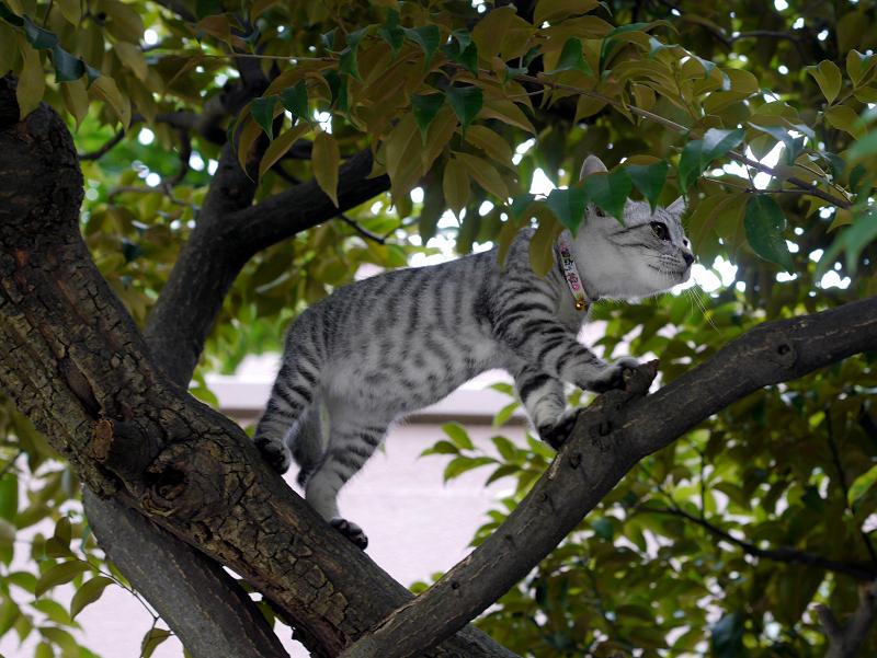 クスノキで悠々と動くサバトラ仔猫3