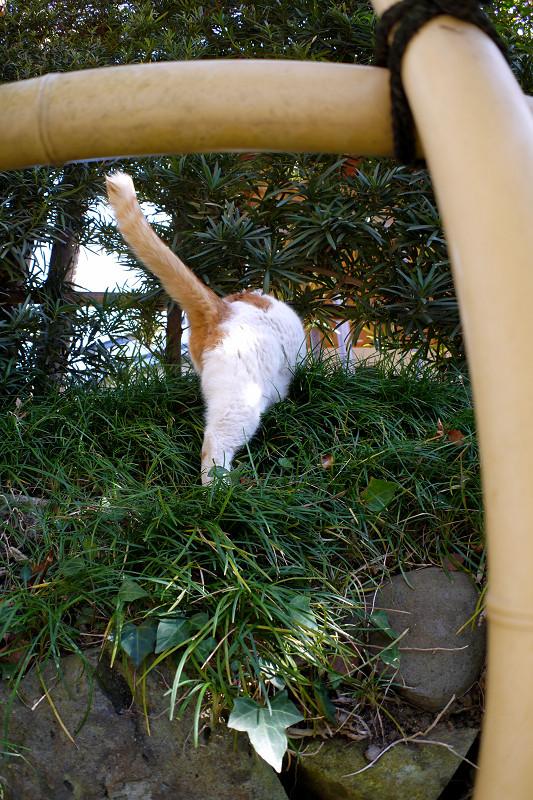 斜面を登る白茶猫1