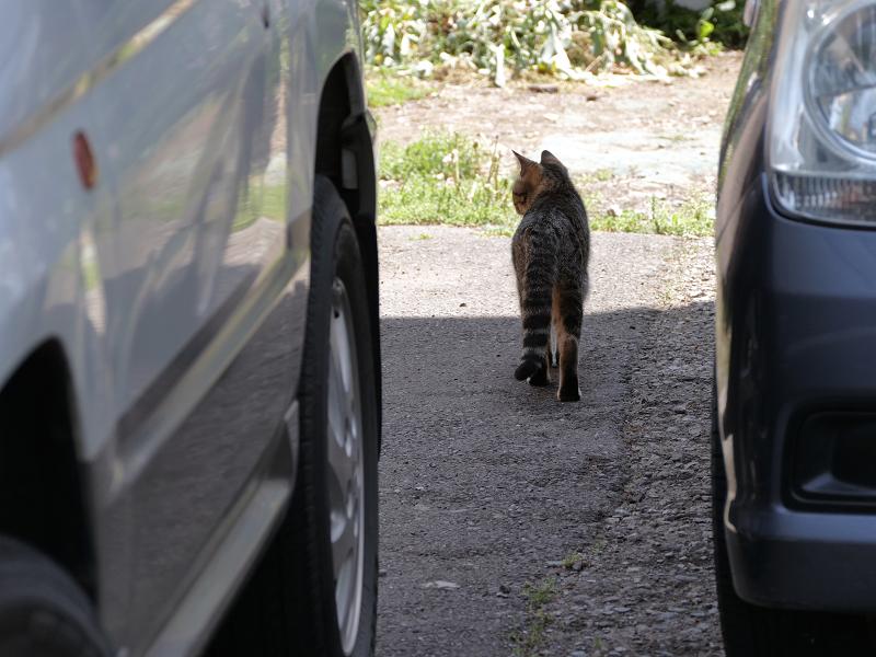 車と車の間のキジトラ猫1