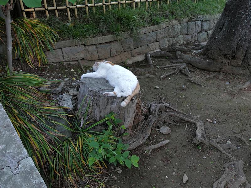 切り株で寝ている白茶猫1