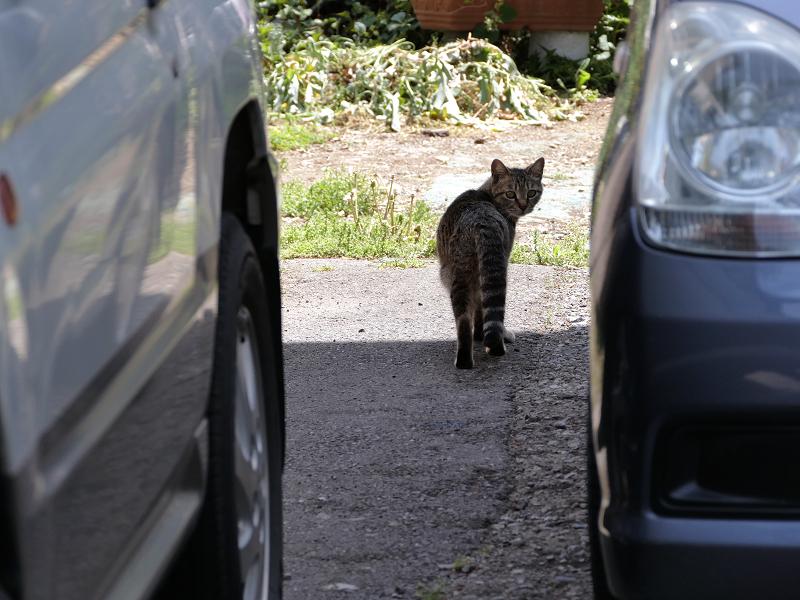 車と車の間のキジトラ猫2