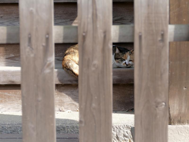 階段で寝ようとしている三毛猫2