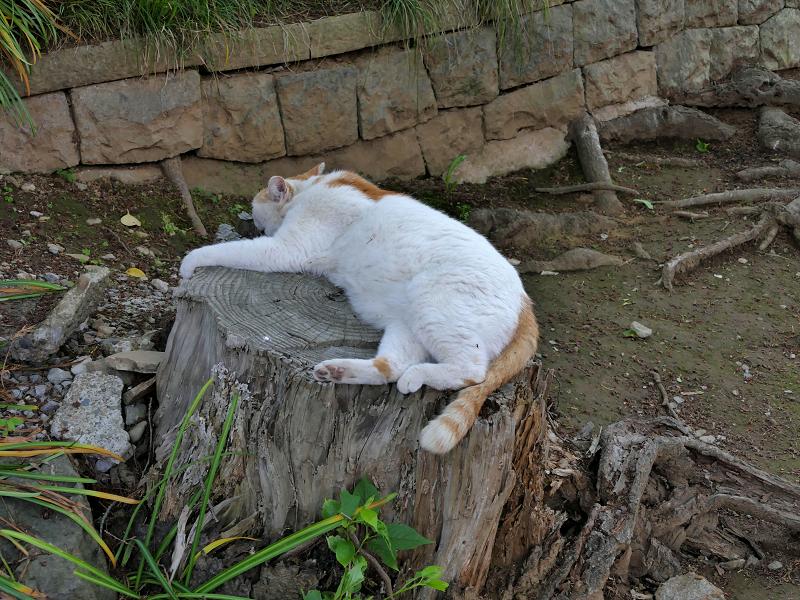 切り株で寝ている白茶猫2