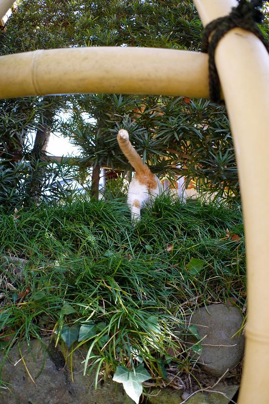 斜面を登る白茶猫3