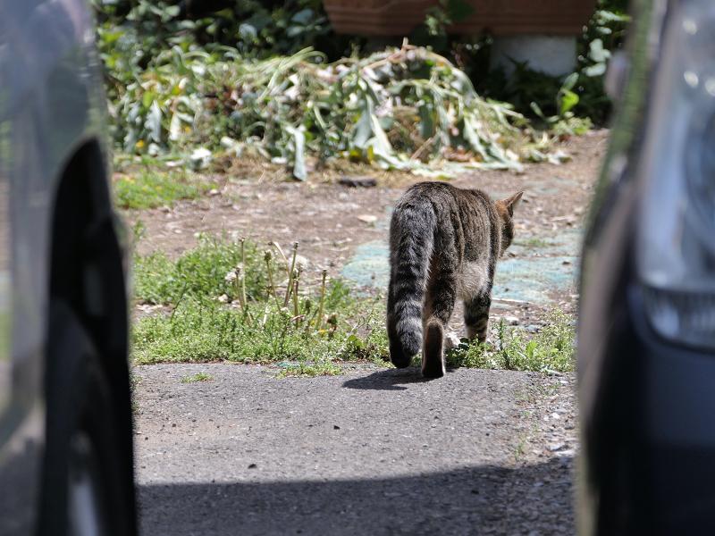 車と車の間のキジトラ猫3