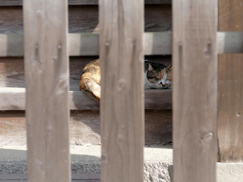 階段で寝ようとしている三毛猫3