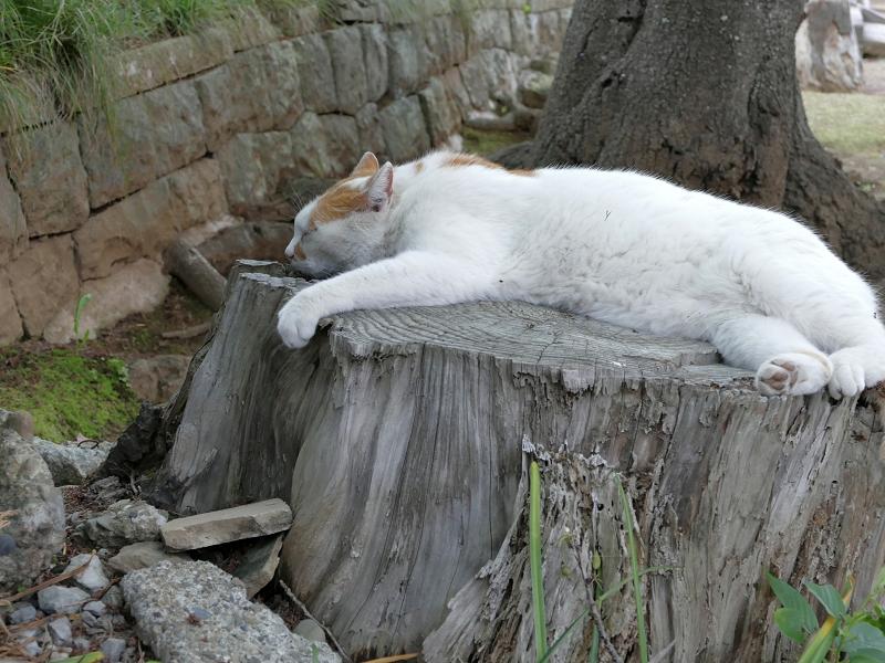 切り株で寝ている白茶猫3