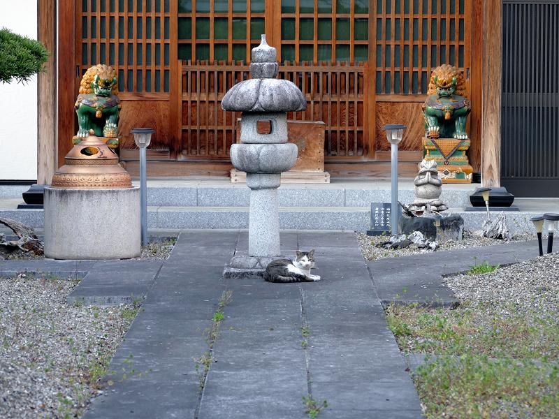 お寺参道石畳とキジ白猫1