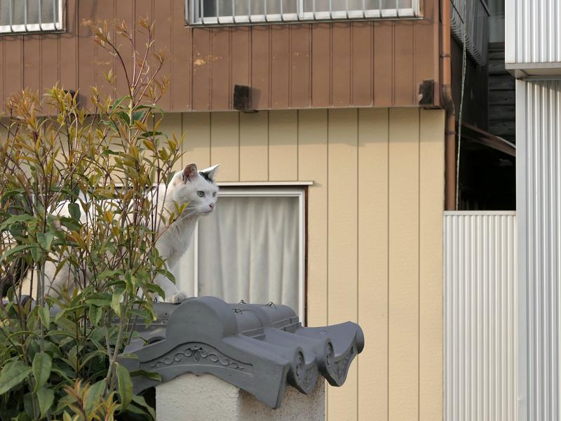 墓苑の塀を歩く白黒猫1