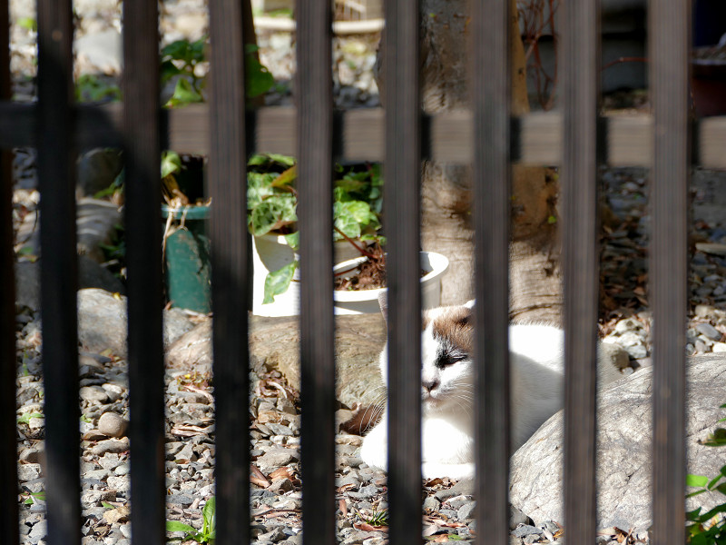 柵越しの洋風猫1