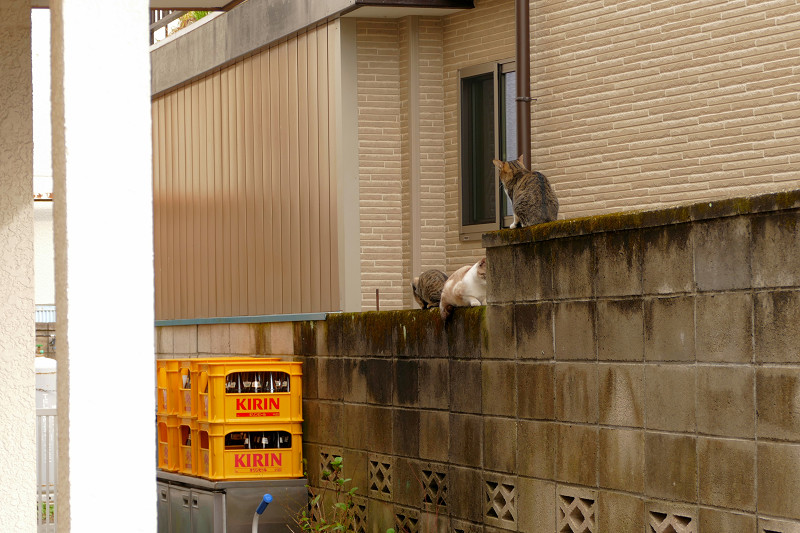 ブロック塀の母さんとキジ系仔猫1